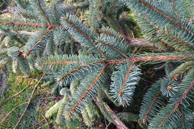 picea abies 6